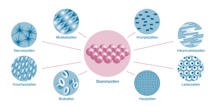 stammzellentherapie